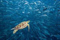 green sea turtle, Chelonia mydas, and schooling bigeye jacks, Caranx sexfasciatus, Sipidan Island, Malaysia, Indo-Pacific Ocean