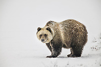 Grizzly bear stands on the on the snow covered tundra, Arctic coastal plains, Alaska