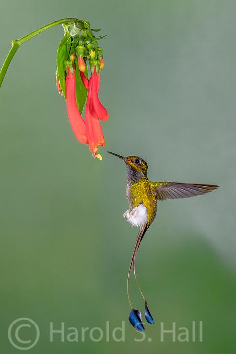 Booted Rocket Tail hummingbird in Ecuador visits a red flower at the Tandayapa bird lodge in Ecuador.