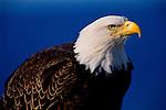Portrait of a bald eagle in Southeast Alaska.