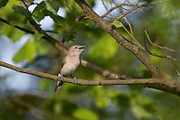 Gartengrasmücke, Garten-Grasmücke, Grasmücke, Sylvia borin, garden warbler