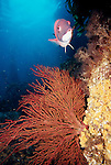 Catalina Island, Channel Islands, California; California Sheephead (Semicossyphus pulcher) and Red Gorgonian (Lophogorgia chilensis) , Copyright © Matthew Meier, matthewmeierphoto.com All Rights Reserved