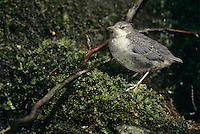 White-throated Dipper, Cinclus cinclus,young, Oberaegeri, Switzerland, April 1995