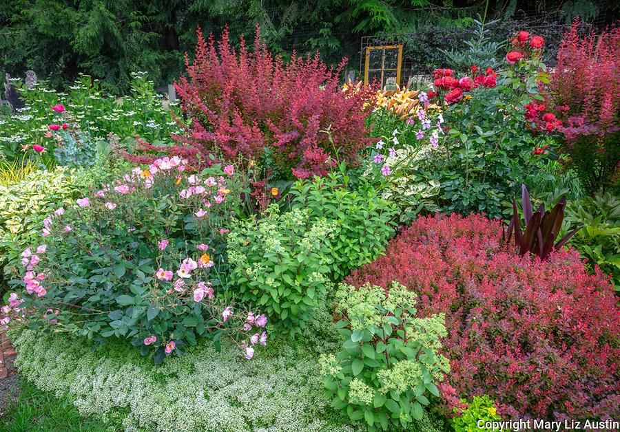 Vashon-Maury Island, WA: Summer perennial garden featuring barberry 'Orange Rocket', hydrangea 'Bobo', Orienpet Hybrid Lily 'Saltarello' and Rosa 'Radcor'