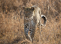 We had some excellent leopard sightings during our visits to Kruger and MalaMala Game Reserve.<br /> <br /> Photo © Jennifer Waugh