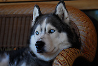 Siberian husky Lakota Sunrise aka Koty Bear photos of siberian huskies, husky photos, pictures of siberian huskies, best photos of huskies, best photos of siberian huskies
