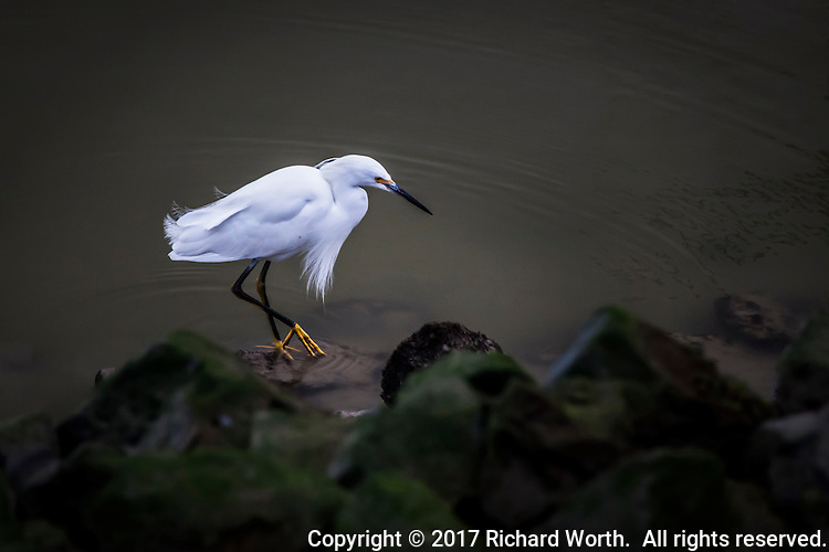 A Snowy egret poses on a rock, displaying its yellow feet, its 'golden slippers', along the rocky shore at San Leandro Marina on San Francisco Bay.