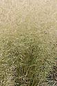 Deschampsia cespitosa 'Goldtau', late August. Sometimes known as 'Golden Dew'.