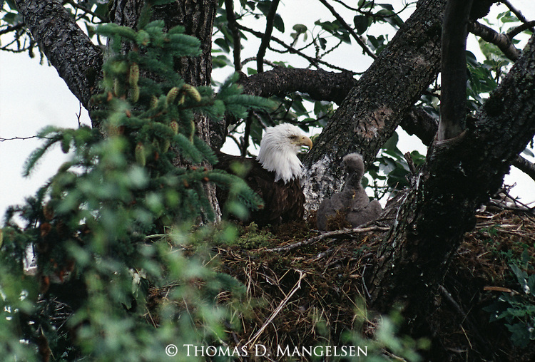 A bald eagle sits in its nest with its chick.