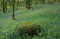 Bluebells in the Ariundle Oakwoods near Strontian, Ardgour, Lochaber<br />