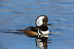Drake hooded merganser swimming in the Chippewa River in northern Wisconsin.