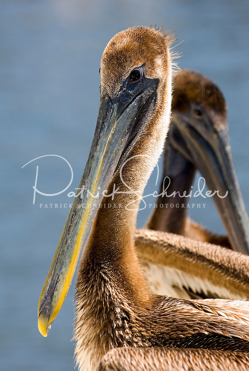 A pelican in Amelia Island, FL
