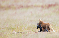 The foxes in this area come in a variety of colors. This spring, there was a den with black, brown and orange kits.