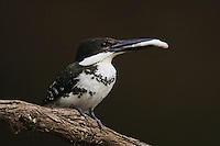 Green Kingfisher, Chloroceryle americana, female with fish prey, Hill Country, Texas, USA