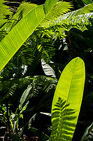Shadow and light play on green leaves at Hawaii Tropical Botanical Garden near Onomea Bay in Papa'ikou near Hilo, Big Island of Hawai'i.