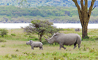 White rhino with calf (Ceratotherium simum), Lake Nakuru National Park, Kenya