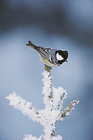 Coal Tit (Parus ater), adult perched on frost covered conifer by minus 15 Celsius, St. Moritz, Switzerland, Europe