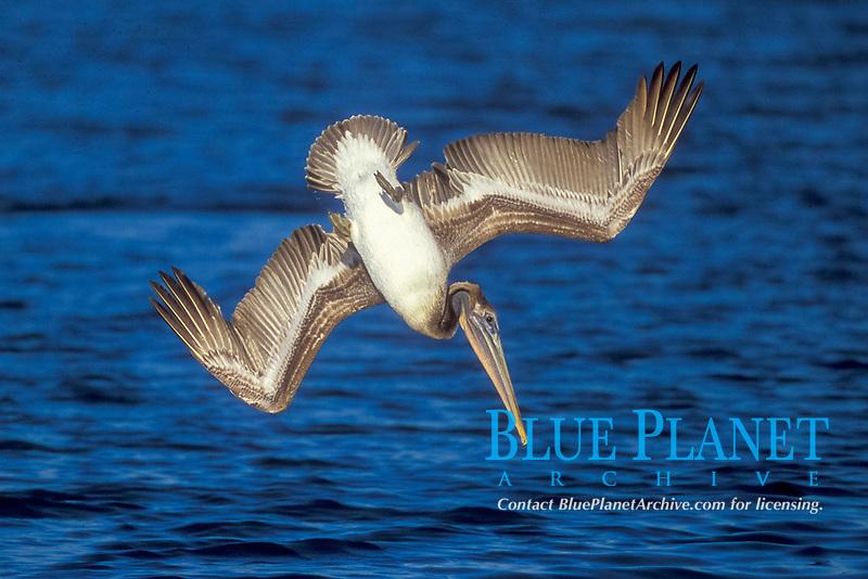 Brown Pelican diving for fish Pelecanus occidentalis Bolsa Chica Wetlands, California
