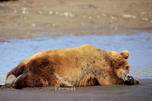 Grizzly Bear boar sleeping on Katmai National Park coastal beach,  Alaska.