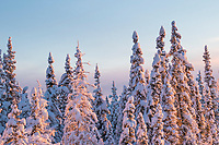 Snow covered spruce trees in the boreal forest of Fairbanks, Alaska.