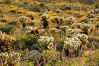 Wildflowers including Brittlebush (Encelia farinosa) along with Ocotillo (Fouquieria splendens) and Cholla at the Carrizo Badlands Overlook, Anza-Borrego Desert State Park, California.Anza-Borrego Desert State Park, California
