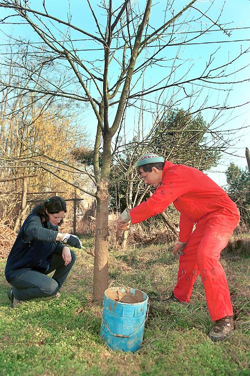 cascina Pirola, a Zelata di Bereguardo (PV), Agricoltura Biodinamica,  filosofia antroposofica di Rudolf Steiner . Protezione di un tronco con letame