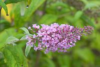 Butterfly Bush Pink Delight