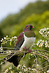 New Zealand Pigeon (Hemiphaga novaeseelandiae), Kapiti Island, North Island, New Zealand