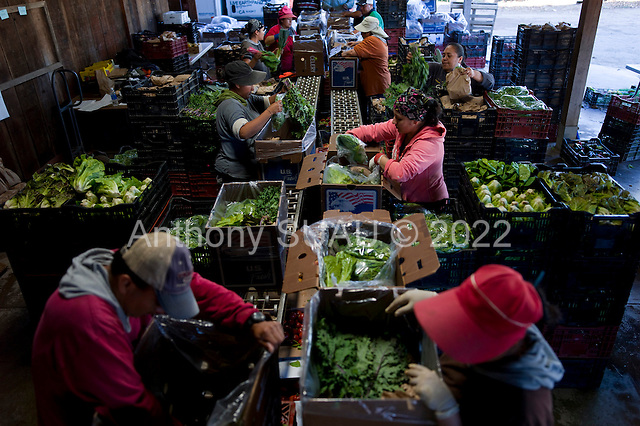 Watsonville, California<br /> October 18, 2012<br /> <br /> Live Earth Farm employees fill 80 community supported agriculture (CSA) boxes on a makeshift conveyor belt in the barn. In 2012 the farm, owned by Tom Broz, is run entirely on the pre-sale of 700 weekly CSA boxes.