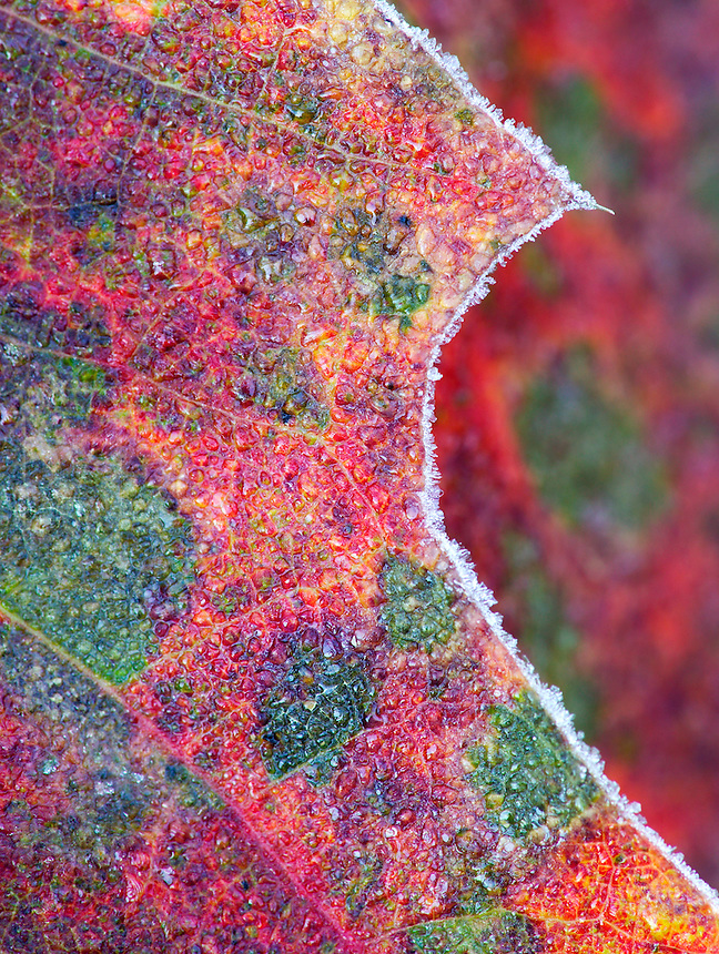 Red oak leaves with frost, Suomi Hills area, Chippewa National Forest, Minnesota
