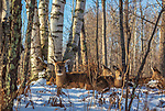 Family of whitetails bedded in a northern Wisconsin forest.