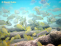 0113-1201  School of French Grunts (Haemulon flavolineatum) and Blue Striped Grunts (Haemulon sciurus) in Caribbean Reef  © David Kuhn/Dwight Kuhn Photography