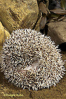 MA42-021z   African Pygmy Hedgehog - rolled in ball for protection - Erinaceus albiventris