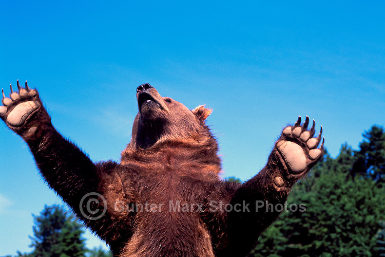 Kodiak Bear aka Alaskan Grizzly Bear and Alaska Brown Bear (Ursus arctos middendorffi) waving Paws