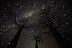 Millions of stars comprise the Milky Way as it shines so brightly that it outlines the magnificent forms of the Baobab trees.  These unique and ancient trees, with a lifespan of thousands of years, are one of the most recognized symbols of Madagascar, the Earth's fourth largest island.