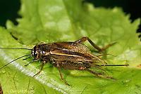 OR10-005c  Cricket - female house cricket  - Acheta domestica