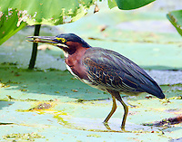 Adult green heron standing on lily pad with catch