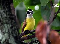 CALI - COLOMBIA - 11 - 02 - 2018: Bichofue Griton (Pitangus Sulphuratus), especie de ave presente en Cali en el Departamento del Valle del Cauca. / Bichofue Griton (Pitangus Sulphuratus), bird species present in Cali, in Valle del Cauca Department. Photo: VizzorImage / Luis Ramirez / Staff.