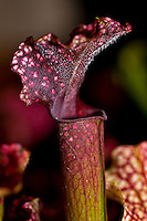 Sarracenia purpurea subsp. purpurea