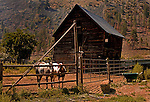 Horses in front of crumbling barn along the Simikameen River in the village of Nighthawk, an old gold mining area near Oroville, Washington in the Okanogan country.