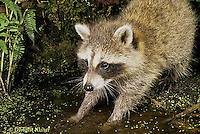 MA25-210z  Raccoon - young raccoon exploring water for food  - Procyon lotor