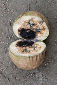 Aldeia Baú, Amazon, Para State, Brazil. Jenipapo fruit, used for dye, traditional  body and face paint.