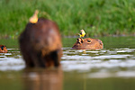 Adult Capybara (Hydrochaeris hydrochaeris) (world's largest rodent) resting with Cattle Tyrants (Machetornis rixosa) in close attention. Lagoon off the Paraguay River. Taiama Ecological Reserve, Pantanal, Brazil.