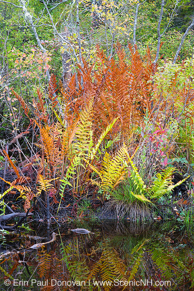 Ferns during the autumn months in the White Mountains, New Hamphire USA