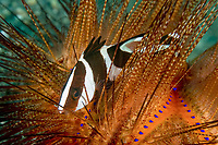 red emperor snapper, Lutjanus sebae, juvenile, sheltering among venomous spines of fire urchin, Lembeh Strait, North Sulawesi, Indonesia, Indo-Pacific Ocean