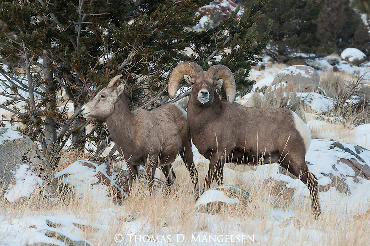 A bighorn sheep ram guards access to a ewe during the rut in Dubois, Wyoming.