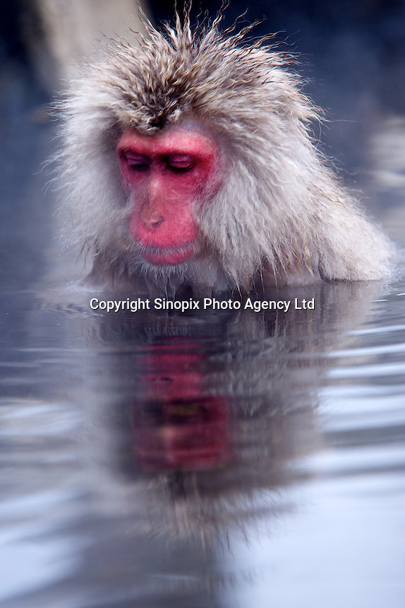 A Japanese macaque, a.k.a. Snow Monkey, at Jigokudani (Hell Valley) in Nagano Prefecture, Japan, 18 Jan 2011.  Japanese snow monkeys live in extreme conditions where winter temperatures can drop to -20 c.  The monkeys of Jigokudani are unique in taking hot baths in the volcanic water of the area to keep warm...Photo by Richard Jones/ Sinopix