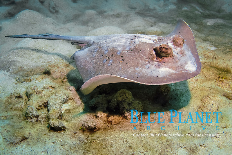 Blue-spotted Stingray, Neotrygon kuhlii, Great Barrier Reef, Cairns, Queensland, Australia, Coral Sea, South Pacific Ocean