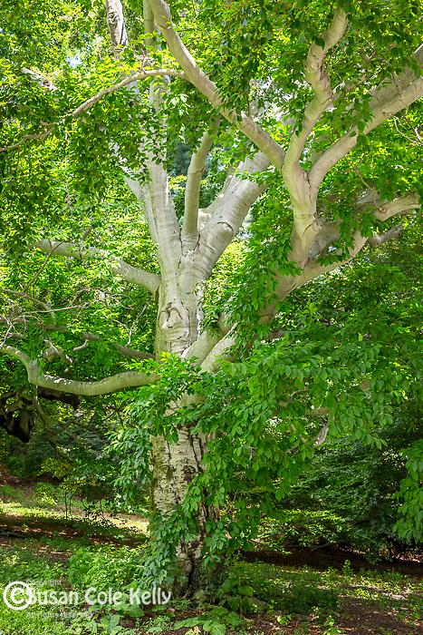 European Beech trees at the Arnold Arboretum in the Jamaica Plain neighborhood, Boston, Massachusetts, USA