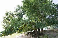 Flatterulme, in den Elbtalauen, Auen, Flatter-Ulme, Ulme, Flatterrüster, Blatt, Blätter, Ulmus laevis, Ulmus effusa, European White Elm, Fluttering Elm, Spreading Elm, Russian Elm, Elm